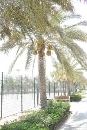Ripening dates hanging from a date palm tree in Abu Dhabi. Stok Fotoğraf