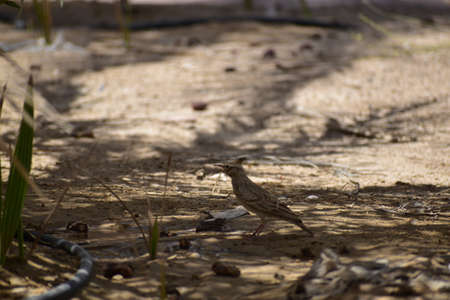 The Crested Lark is well distinguished from other larks by the larger size and quite large crest on the head. Adult males and females are similar on color.