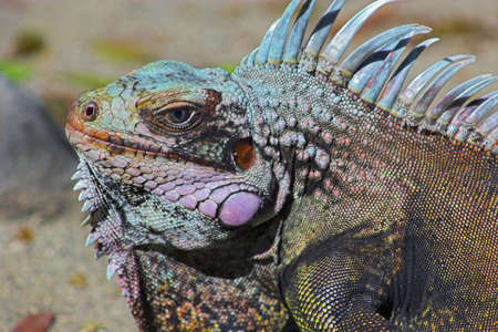 Portrait of iguana filtered to display all its natural vibrant colors Stock Photo - 853338