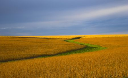 casi: El campo de la soja durante encendi� casi anaranjado durante puesta del sol, con el fondo del cielo azul y de algunas nubes.