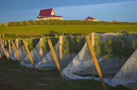 Vineyard with vines covered with bird-protective net and winery buildings on the background. photo