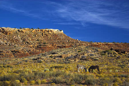 Donkeys in semi-desert of the Navajo National Monument with on the background of the famous table mountains photo