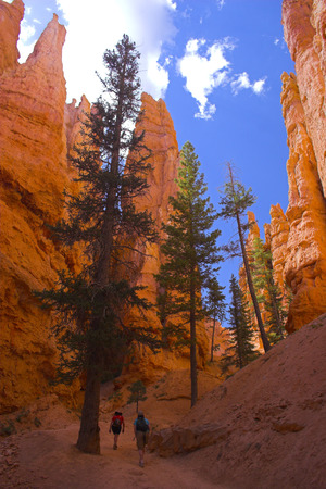 Famous pine trees in rare rock formations of Bryce Canyon National park photo