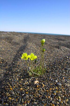北極海の小石のビーチで成長している入札の花