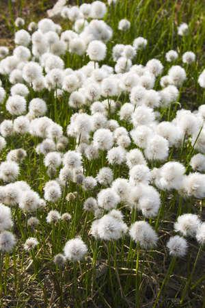 北極の花夏から秋にかけての端ツンドラに咲く