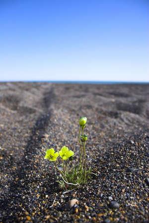 Arctic flower grows throught he stones of the polar desert Stock Photo