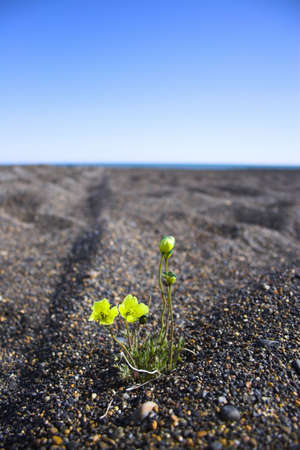 emergence: Arctic flower grows throught he stones of the polar desert Stock Photo