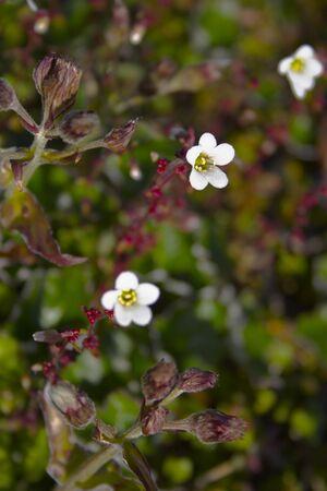 北極の夏と秋にツンドラで北極の花を咲かせる 写真素材