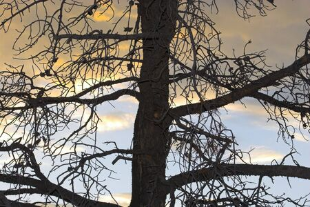 needless: Silhouette of needless pine tree on the sunset sky background
