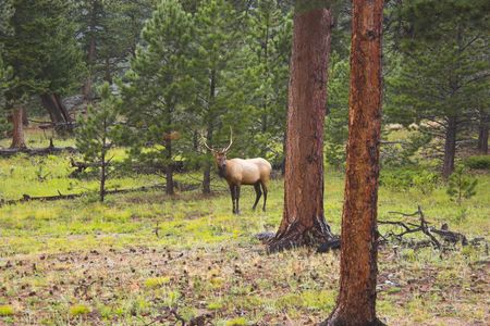 Elk in the Cordeliers mountains prairies tundra forests during late summer early fall Stock Photo