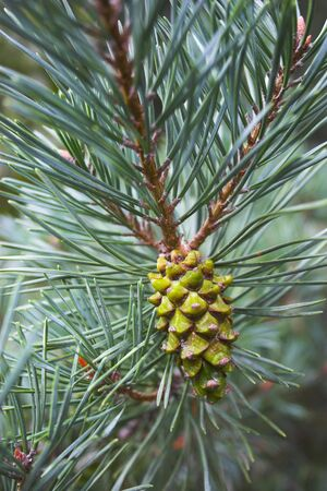 Pine cone among branches and needles of the tree