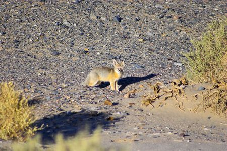 Wild desert fox among multicolored yellow clay and salt mineral deposits in geological formations of Death Valley National Park photo