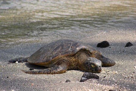 Green turtle sleeping in sand on Big Island