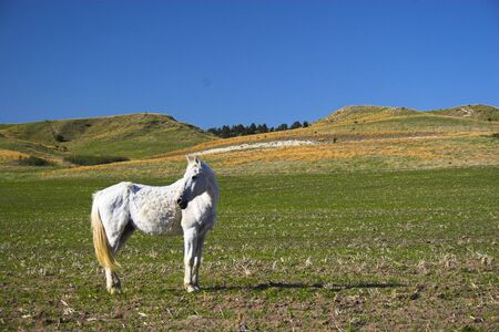 sandhills: Single white horse on a pasture in the Sandhills