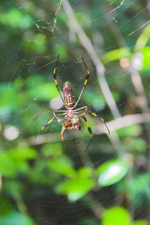 Giant spider in the tropical jungle at Caribbean island photo
