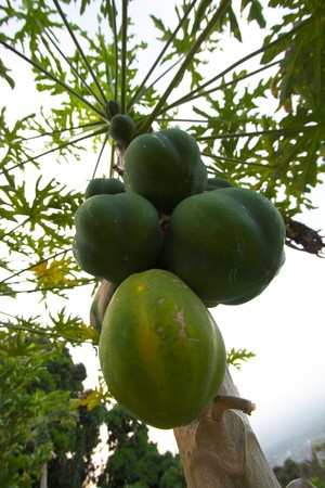 Fruit of papaya hanging on tree in Hawaii photo