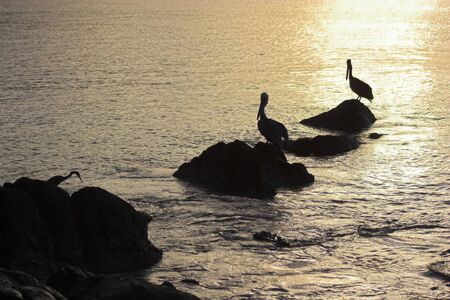 Wild brown pelican fishing at sunset near the shore of a tropical island Stock Photo - 4506110