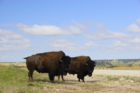 sandhills: Two bison on a prairie in the Sandhills