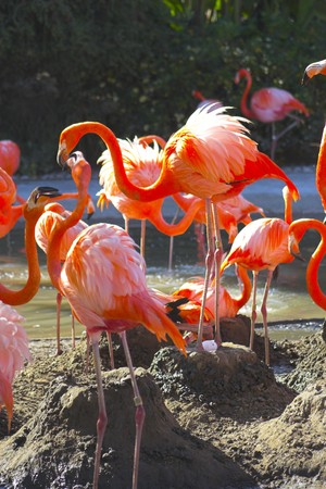 Flamingos sitting on nests attending the eggs photo