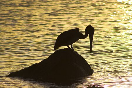 Wild brown pelican fishing at sunset near the shore of a tropical island Stock Photo - 4527184