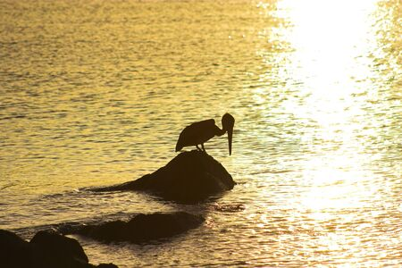 Wild brown pelican fishing at sunset near the shore of a tropical island Stock Photo - 4527482