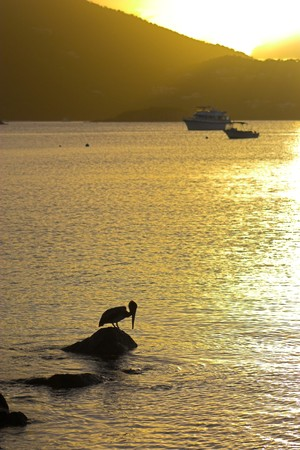 Wild brown pelican fishing at sunset near the shore of a tropical island Stock Photo - 4527483