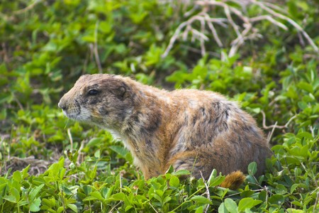 sandhills: Ground squirrel is sitting near its burrow in the grass.