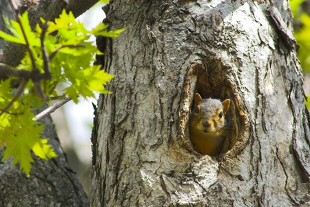 fur tree: Squirrel sitting in its nest, the hole in the tree.
