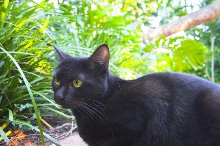 hemingway: Black cat hunting in the garden of Hemingway house