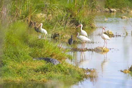Flock of white and blue herons, egrets in Everglades national park swamp, Florida Stock Photo - 6026927