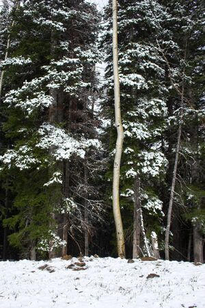 Fragment of aspen tree trunk against green spruce covered by snow