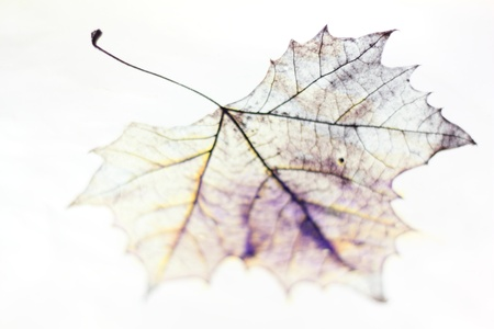 green lines: Photo of the drawing of a transparent maple leaf in false color with variable depth of field