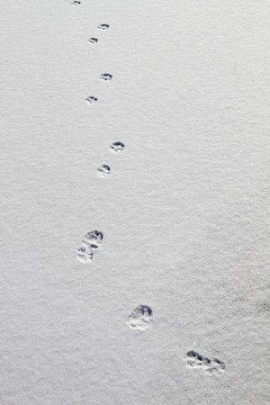 Animal tracks on snow background photo