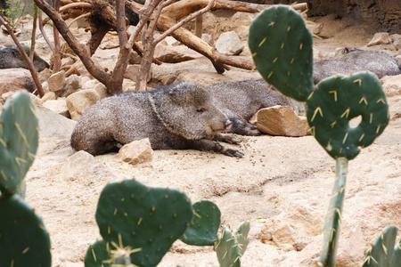 omaha: Javelinas resting among cacti in Omaha Zoo