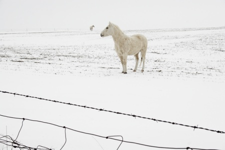 Light-colored horse in the white farm field with blowing snow Stock Photo - 8967190