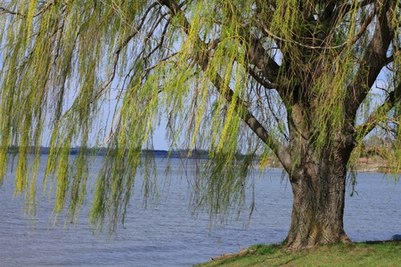 Beautiful willow tree growing near lake