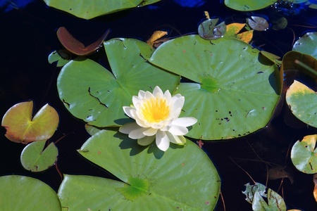 with reflection: White water lilies floating in Minnesota lake