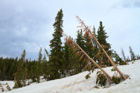 Dead pine trees on the slopes of Snowy Range Mountains of Wyoming photo