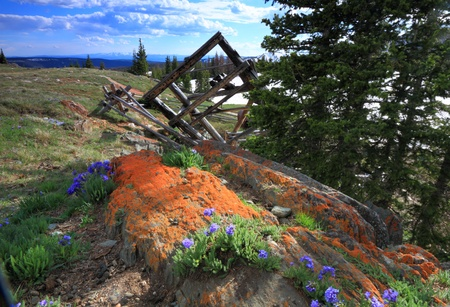 Meadows of wildflowers in the Snowy Range Mountains of Wyoming