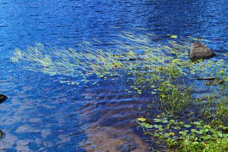Lake shore fragment with zizania grass and water lilies