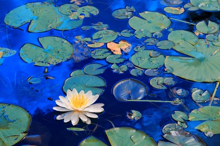 White water lilies floating in Minnesota lake photo