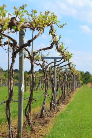 Rows of vine in spring season  Stock Photo - 13542309