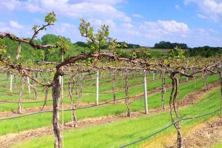 Rows of vine in spring season  photo
