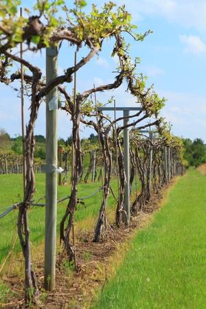 Rows of vine in spring season  photo