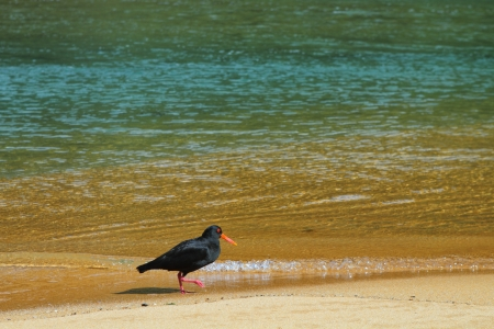 Oystercatcher searching for food on the sandy beach of Abel Tasman National Park, New Zealand photo