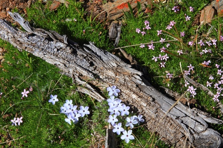 Purple wildflowers blooming in summer in the mountains photo