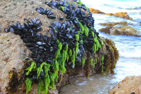 Mussels growing on the ocean rocks on a New Zealand beach