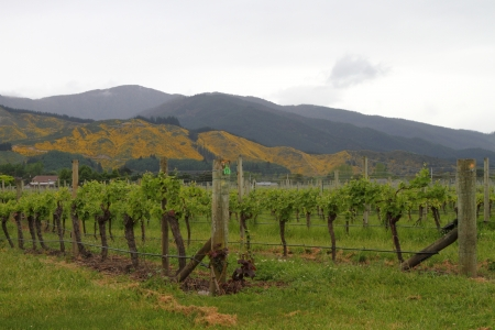 Beautiful vineyard in famous Marlborough region, New Zealand
