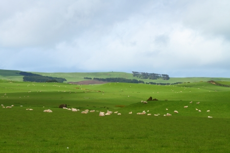 Green pastures with grazing sheep in Southland, New Zealand Stock Photo - 16831623