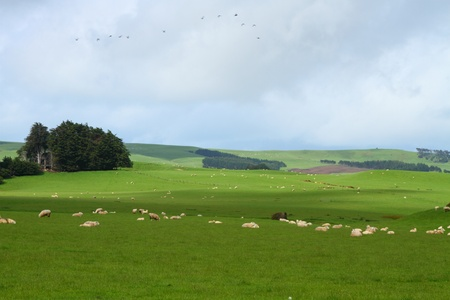 Green pastures with grazing sheep in Southland, New Zealand Stok Fotoğraf